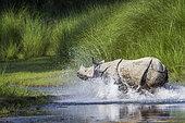 Greater One-horned Rhinoceros (Rhinoceros unicornis) running in water, Bardia national park, Nepal