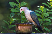 Green imperial Pigeon (Ducula aenea) on a pot, Minneriya national park, Sri Lanka
