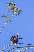 Green imperial Pigeon (Ducula aenea) on a branch, Uda walawe national park, Sri Lanka