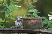 Indian palm squirrel (Funambulus palmarum) and pot, Minneriya National Park, Sri Lanka