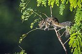 Indian palm squirrel (Funambulus palmarum) on a branch, Ella, Uva province, Sri Lanka