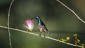Long-billed Sunbird (Cinnyris lotenius) on a branch, Ella, Uva province, Sri Lanka