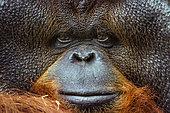 Portrait of Bornean Orang-Outan (Pongo pygmaeus pygmaeus), Zoo Chiang Mai, Thailand