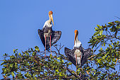 Painted Storks (Mycteria leucocephala) on a tree, Arugam bay lagoon, Pottuvil nature reserve, Sri Lanka