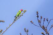 Plum-headed Parakeet (Psittacula cyanocephala) on a branch, Bardia national park, Nepal