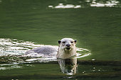 Smooth-coated Otter (Lutrogale perspicillata) in water, Bardia national park, Nepal