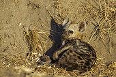Hyène tachetée (Crocuta crocuta) à la tanière, Kruger, Afrique du Sud