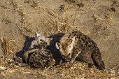 Hyènes tachetées (Crocuta crocuta) à la tanière, Kruger, Afrique du Sud