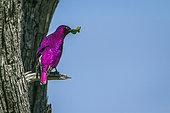 Violet-backed starling (Cinnyricinclus leucogaster) male on a branch, Kruger National park, South Africa