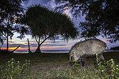 Wild boar (Sus scrofa) at dusk, Tarutao national park, Thailand