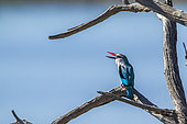 Woodland kingfisher (Halcyon senegalensis) on a branch, Kruger National park, South Africa