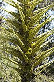 Chiliean puya (Puya chilensis), Portezuelo de Ocoa, Parque nacional La Campana, V Région of Valparaiso, Chile