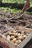 Harvest of potatoes