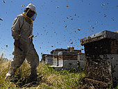 Beekeeping - A swarm storms out of a hive at an apiary. The powerless beekeeper can do nothing but watch the departure of half the bees from his hive.