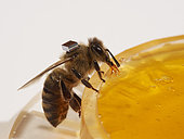 Honey bee (Apis mellifera) - Microchips are used by researchers to mark the bees and identify them with a scanner at the entrance to the hive or near the nurse bees. In that way, it is possible to monitor the bees' activities on an individual level. The times they go out, etc… Research Center HOBOS, Würzburg, Germany.