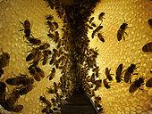Abeille à miel (Apis mellifera) - Dans la ruche entre deux rayons parallèles de miel. Les abeilles stockent le nectar dans les cellules de cire et le transforment en miel en abaissant son niveau d'humidité de 80 % à 17 % par ventilation. L'échange buccal entre abeilles, la trophallaxie participe à son élaboration par l'ajout d'enzymes.
