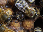 Honey bee (Apis mellifera) - The birth of drones in the brood surrounded by nurse bees. A parasite, the varroa destructor, is on one of the nurses. The varroa often use the drones' cells to raise their offspring.