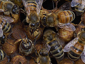 Honey bee (Apis mellifera) - The birth of drones in a brood surrounded by nurse bees. The drone is born 24 days after the egg is laid and it lives approximately 50 days. The drone is the only fertile depositary of the queen's genes. It is responsible for the transmission of the genes from the queen (its mother). Like all the bees, three days after the eggs have hatched the drone larvae are first fed royal jelly. Then, the nurse bees change the food to a mix of honey and pollen. Unlike the diet of the worker bee larvae, that of the drones includes more honey.