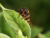 Italian bee (Apis mellifera ligustica) - The varroa parasite often develops in the drones' cells. During the fertilization flights, which last twenty or so minutes, a drone might land on a leaf to warm itself up. The males' peak flying time is between 2pm and 5pm. They fly at a height of 10 to 40 metres above the ground. The males' average flight distance is 900 metres./