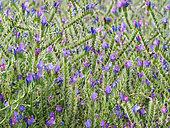 Abeille jaune (Apis mellifera ligustica) - Butinage de fleurs de Bourrache officinale (Borago officinalis)