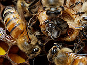 Honey bee (Apis mellifera) - Birth of a young queen surrounded by a multitude of nurse bees that sometimes help it cut through the thin wax wall that encloses the cell.