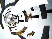Apidologie - Bees in a flight tunnel. This procedure was used to show that the evaluation of distance by bees proceeds from their visual system. And through the white and black stripes, its has been shown that it also depends on the landscape's structure. This experiment was carried out by then calculating the length of the bees's dance in relation to the food source of which the distance was identified. /