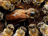 Honey bee (Apis mellifera) - Honeybee Queen laying on a comb with honeybees: A queen surrounded by her court who feeds and cleans her on the cells full of larvae and other pupa.