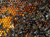 Abeille à miel (Apis mellifera) - Abeilles sur des cellules de stockage de nectar. 1 kilo de miel a la même valeur énergétique que 5,5 litres de lait ou 3 kg de viande ou 25 bananes ou 40 oranges ou 50 œufs.