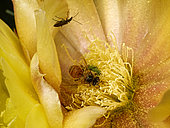 A bee in a prickly pear cactus flower gathers the pollen. The bee brushes its head and the front of its thorax with its front legs and makes the grains stick with a bit of honey. The pollen is transferred to the middle legs then on to be stored on the back legs.