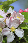 A bee gathering nectar from apple tree blossoms.