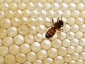 Abeille à miel (Apis mellifera) - Une abeille sur des cellules de cire nouvellement construite. On remarque la taille différente des cellules pour les mâles et les abeilles. Les cellules de mâles sont 1/3 plus large. Leur largeur mesure 8,75mm, leur profondeur 16-17 mm contre 6 mm et 12 mm pour l'ouvrière.
