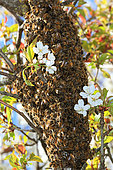 Honey bee (Apis mellifera) - A swarm of bees on a branch of a cherry tree.
