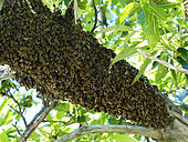 Honey bee (Apis mellifera) - A swarm lands on a branch while waiting to find a habitat. The swarm is made up of the old queen, drones and half the worker bees from the original colony. A few dozen explorer bees set off on reconnaissance flights to search for their new habitat.