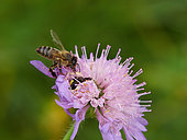 Honey bee (Apis mellifera) - A bee encounters a Thomisidae hidden in a field scabious flower. Commonly called a crab spider, it hunts the bees on the flowers with a very particular technique. The spider grabs the bee with its legs, disorients it with rapid movements then sinks its fangs into the bee's thorax.