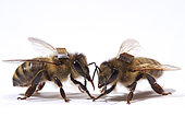 Honey bee (Apis mellifera) - The microchips are used by researchers to mark the bees and identify them by a scanner at the entrance to the hive or near the sugar distributors. It is thus possible to monitor the bee's activities on an individual level, such as the hours they leave the hive.