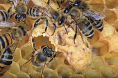 Honey bee (Apis mellifera) - Nurse and wax bees around a royal cell.