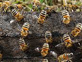 Honey bee (Apis mellifera) - Fanning bees in full force on the flight board. The fanning bees (+- 18 days after birth) create an air stream through the colony to decrease the humidity, regulate the temperature and renew the air.-