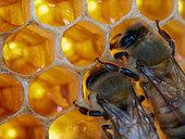 Honey bee (Apis mellifera) - Two bees on cells of honey feeding themselves.