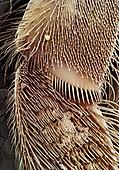 Honey bee (Apis mellifera) - Anterior Leg of a Bee Grows 70 Times