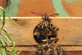 The Asian hornet will hover in front of the hive's entry to hunt the bees returning from the flowers with their load of pollen and nectar. Tired, weighed down, these bees are easy prey... France