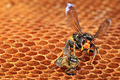 With its enormous mandibles, the Asian hornet is a formidable predator. France