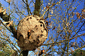 Near the nest, the Asian hornets (Vespa velutina) summarily attack any intruder. France