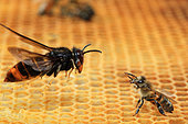 Face-off between an Asian hornet (Vespa velutina) in flight and an Honey bee (Apis mellifera) on alveoli. France