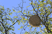 Asian hornet (Vespa velutina) nest in a tree, France