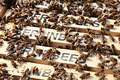 """Urban Beekeeping - """"Berlinbees"""" is written on the beeswax frames of the Berlin Cathedral. Since 2011 and the Berlin Summt (Berlin is Buzzing) program which placed hives on well-known public buildings in Berlin, the Berliners really have the impression that their city buzzes with bees. However, Berlin already counted 750 beekeepers and nearly 2500 hives throughout the year and over 15,000 during the blossoming of the Lindens when professional beekeepers bring their hives into the city. Germany"""