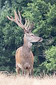 Red Deer (Cervus elaphus), Male deer with antlers covered with velvet, Private park, Haute Saone, France