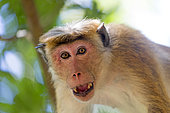 Toque macaque (Macaca sinica), adult male, intimidation, Northwest Coast of Sri Lanka