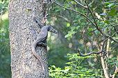 Asian water monitor or water monitor (Varanus salvator), climb a tree, Wilpattu national park, Northwest Coast of Sri Lanka