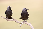 Western jackdaw (Corvus monedula), couple on a branch near the artificial cavity of a building entirely constructed for the nesting of these birds, Catalogna, Spain