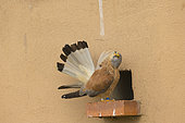 Lesser Kestrel (Falco naumanni), male taking care of the tail feathers near the artificial cavity of a building entirely constructed for the nesting of these birds, Catalogna, Spain
